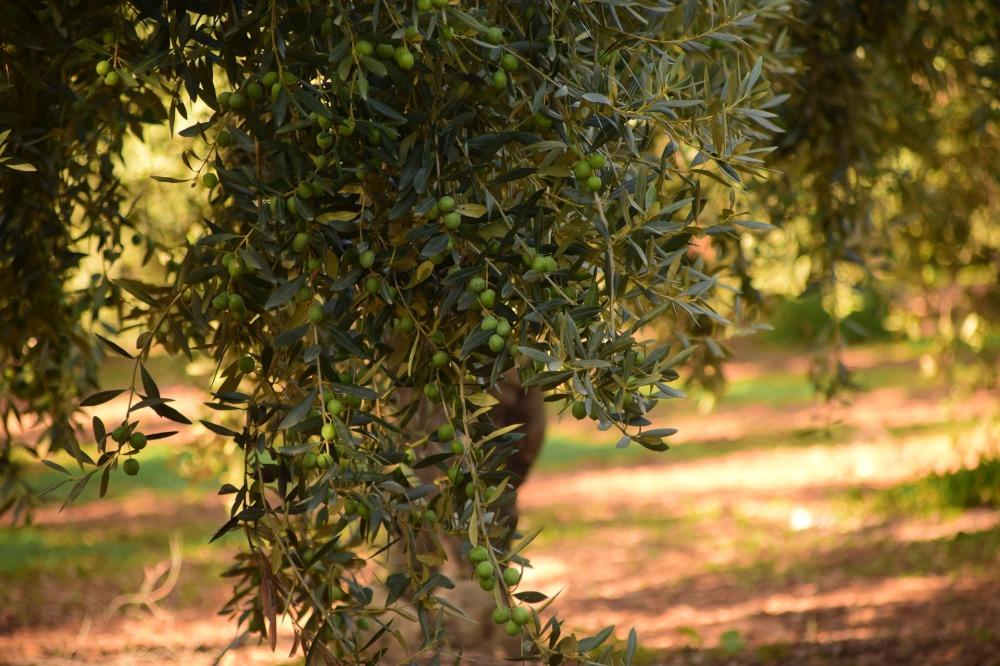 olives-1752187_1920