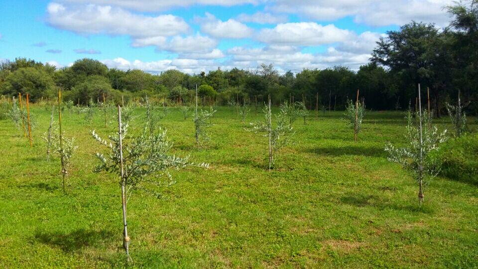 plantacion-de-olivos-aceite-de-olivas-don-sergio
