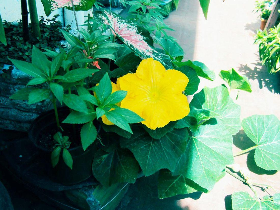 flor-de-zapallo