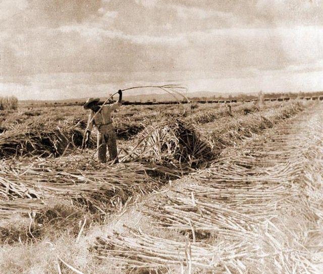 cosecha-can%cc%83a-azucar