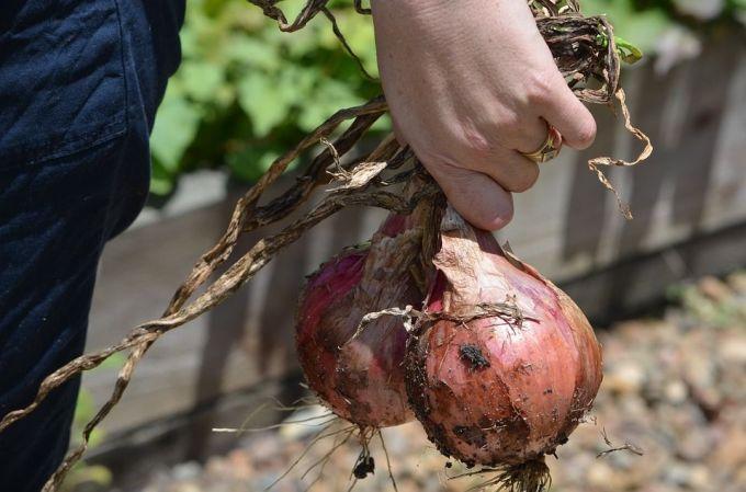 cebollas-huerta-organica