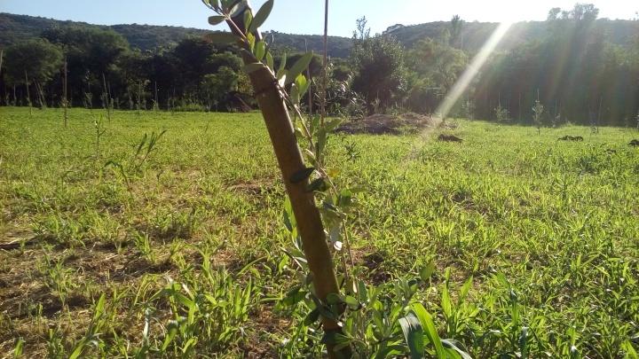 Plantacion de Olivos.jpg