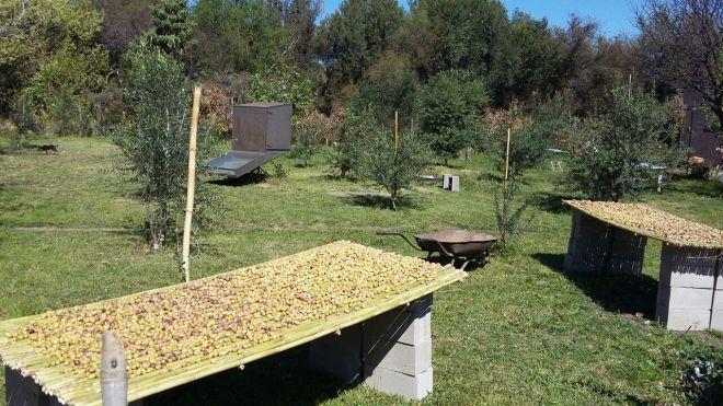 Aceitunas secando se al sol