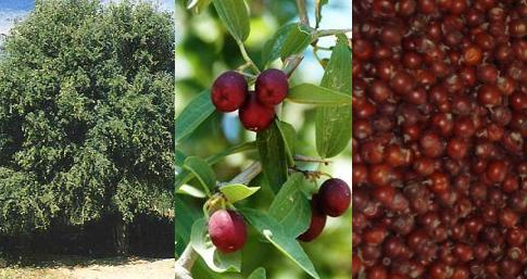 mistol-fruto
