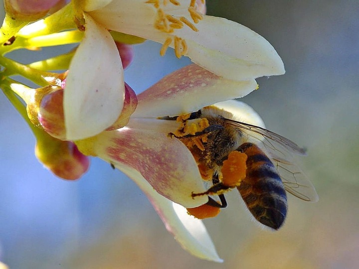 abeja libando.jpg