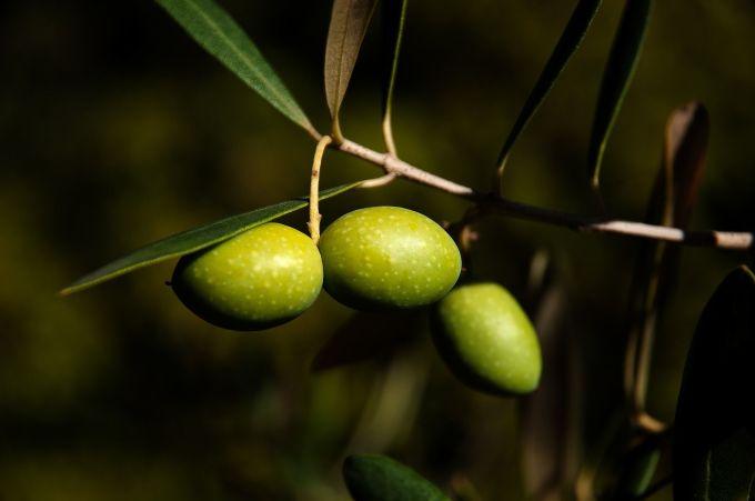 aceitunas-arauco