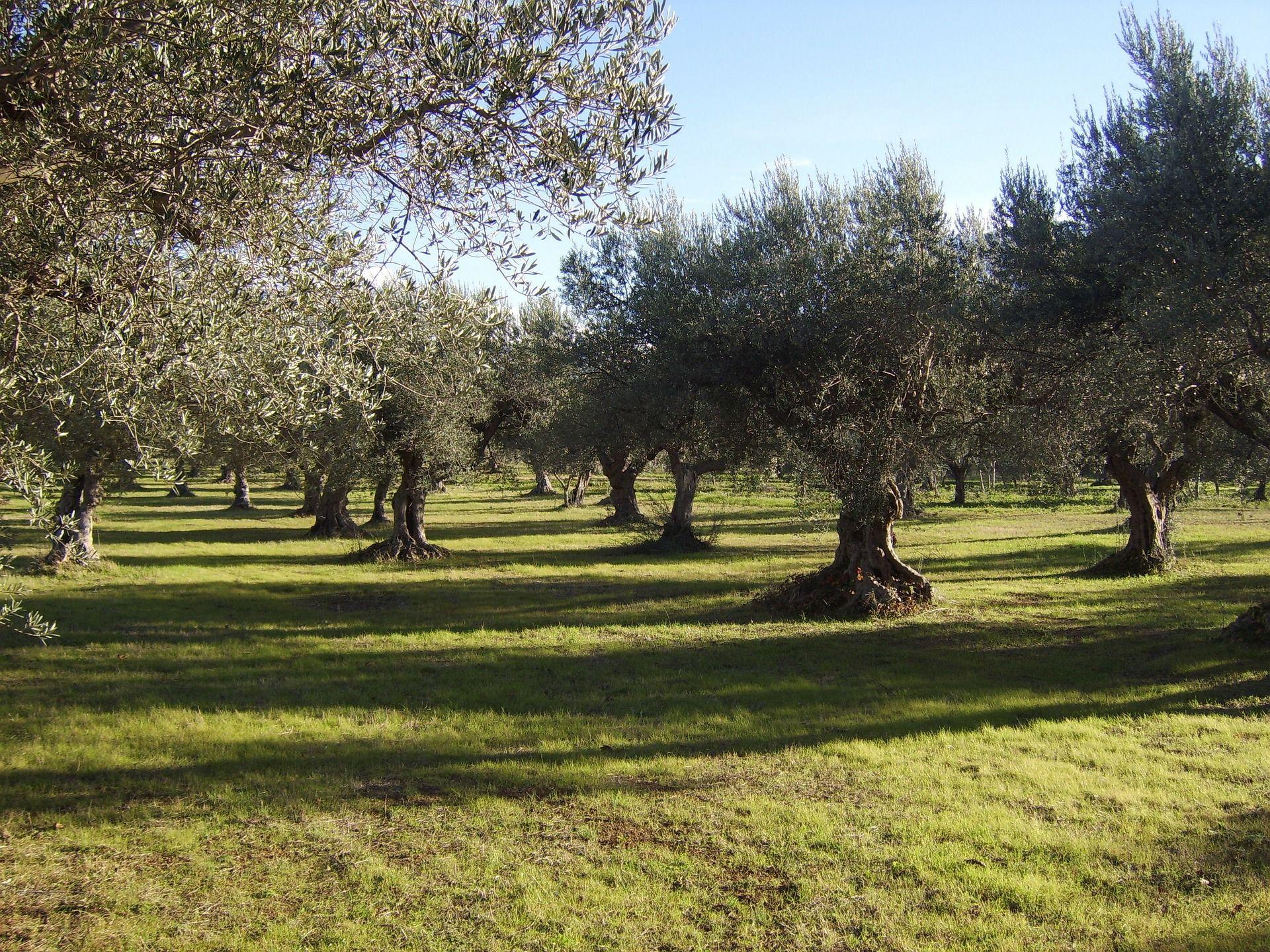 plantacion-de-olivos