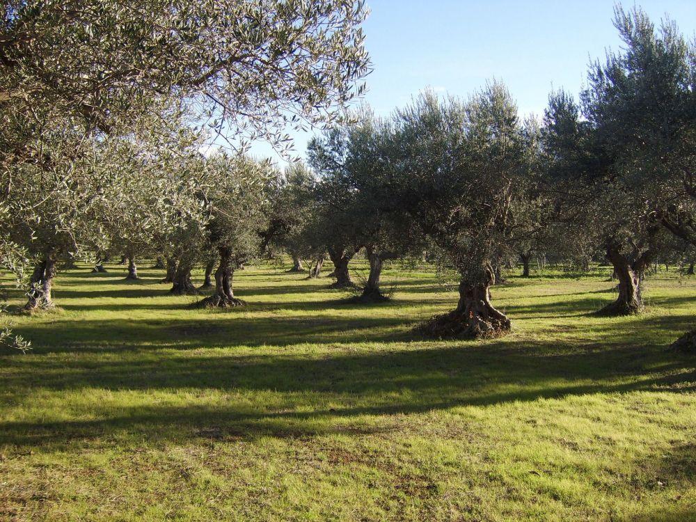 plantacion de olivos