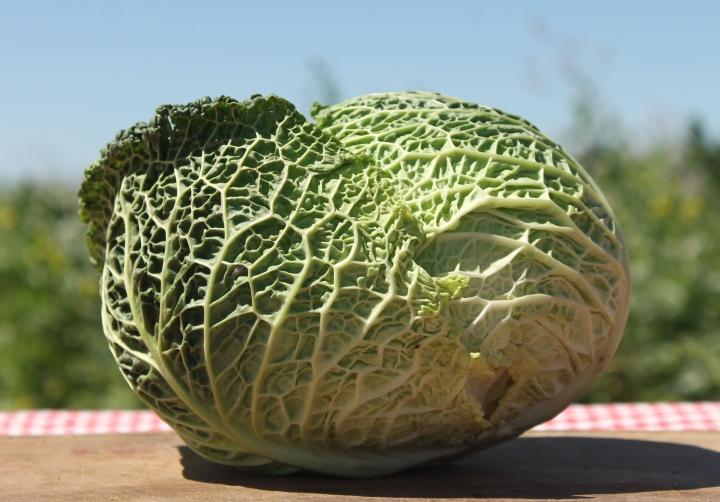 Repollo crespo. Verduras orgánicas.