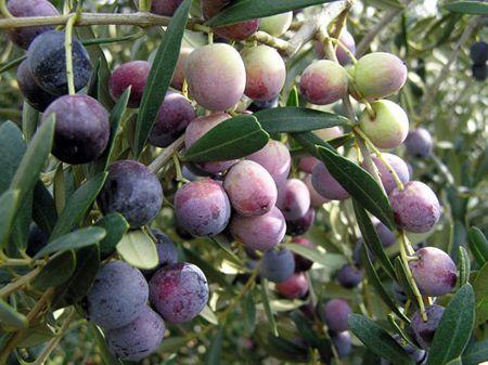 aceitunas de la variedad Arbequina.
