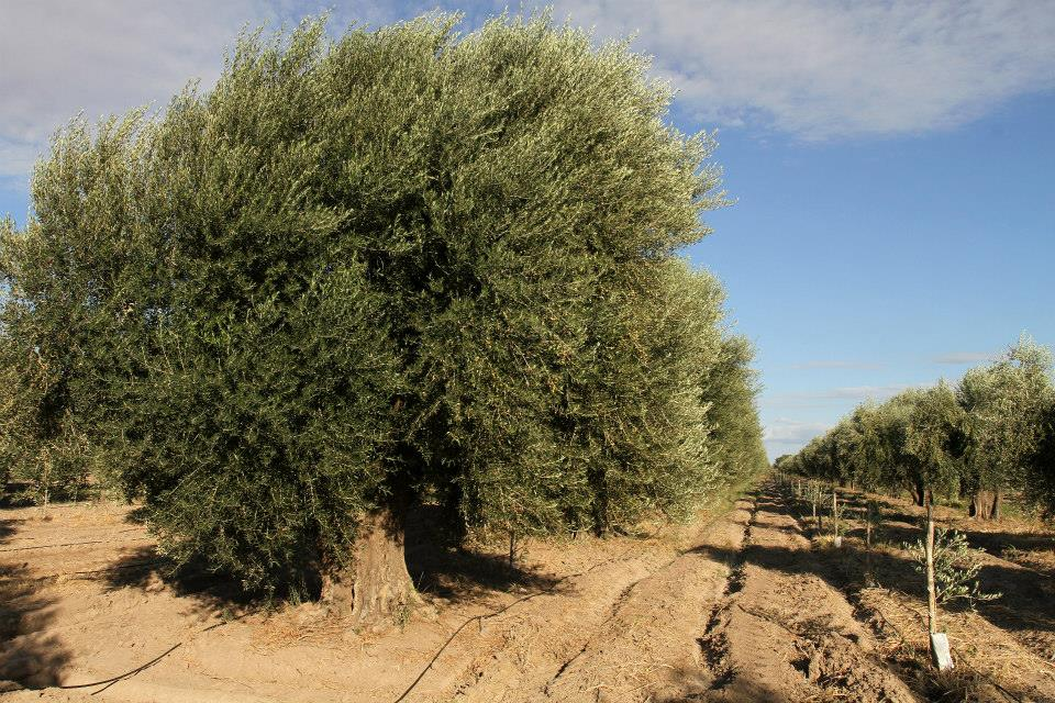 Plantacion-de-olivos-finca-lecumberr