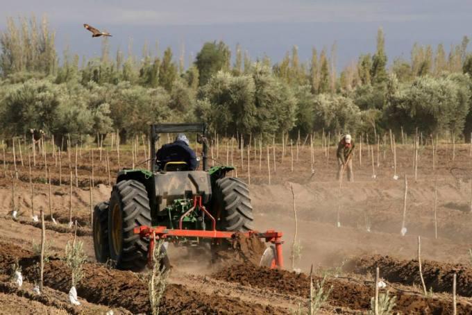Plantacion de olivos.Mendoza.