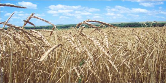 Que es el trigo de espelta?