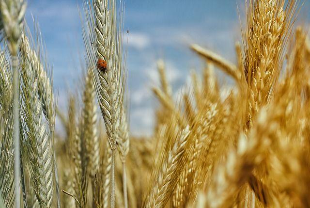 Harina de trigo orgánico