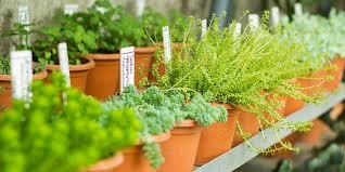 Plantas aromáticas en macetas.