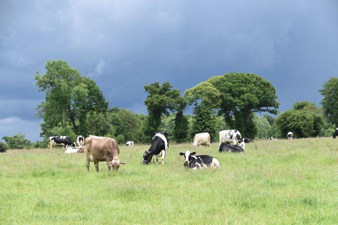 Vacas. Pasturas Naturales.