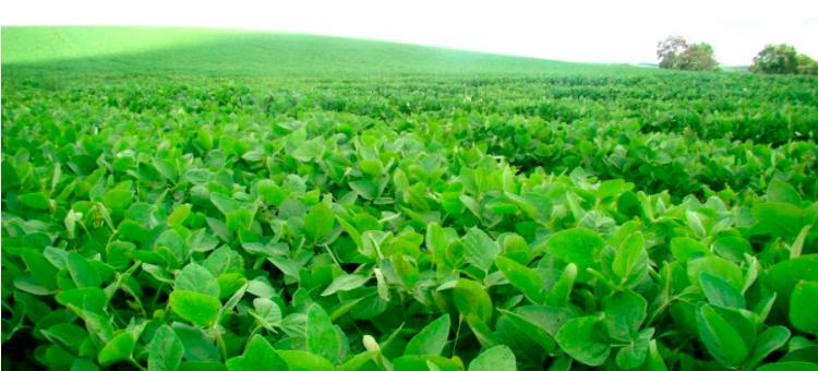 Campos de soja